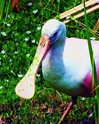 Spoonbill Number One Print by Doris Wood