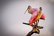Beach Wildlife Posters - Spoonbills Poster by Debra and Dave Vanderlaan