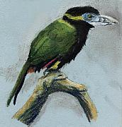 Spot Drawings Posters - Spot-billed Toucanet Poster by Nelson Caramico