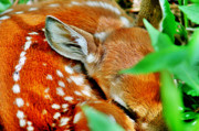 Fawn Photos - Spots 2 by Emily Stauring