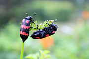 Longhorn Photos - Spotted Beetle Couple by Suchitra Prints