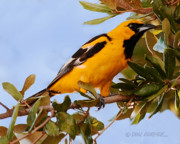 Oriole Originals - Spotted Breasted Oriole by Don Durfee