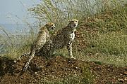 Cheetah Photos - Spotted Cats by Michele Burgess