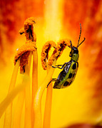 Cucumber Beetle Framed Prints - Spotted Cucumber Beetle Framed Print by Carl Jackson