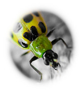 Cucumber Beetle Framed Prints - Spotted Cucumber Beetle Framed Print by Maureen  McDonald