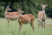 Life In Space Prints - Spotted Deer, Harrogate, Yorkshire Print by John Short