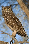 South African Prints - Spotted Eagle Owl Print by Tony Camacho