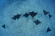 Unique View Photos - Spotted Eagle Rays by Dave Fleetham - Printscapes