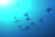 Sami Sarkis Art - Spotted Eagle rays by Sami Sarkis