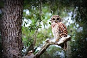 Spotted Metal Prints - Spotted Owl II Metal Print by Mandy Shupp