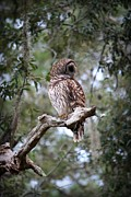 Spotted Metal Prints - Spotted Owl Metal Print by Mandy Shupp