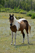 Wild Horses Photo Prints - Spotted Perfection Print by Ken Smith