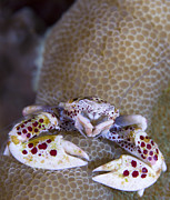 Malacostraca Prints - Spotted Porcelain Crab Feeding Print by Steve Jones
