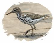 Sandpiper Digital Art Posters - Spotted Sandpiper Poster by Larry Linton