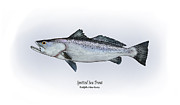 Game Fish Drawings Framed Prints - Spotted Sea Trout Framed Print by Ralph Martens