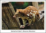 Paws Framed Prints - Spotted-tail Quoll 2 Framed Print by Kaye Menner