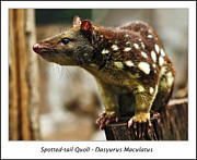 Paws Framed Prints - Spotted-tail Quoll Framed Print by Kaye Menner