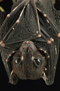 Bat Photos - Spotted-winged Fruit Bat Balionycteris by Ch