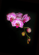 Spray Of Orchids Print by Judi Bagwell