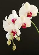 Sabrina L Ryan - Spray of White Orchids