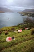 Killary Fjord Framed Prints - Spray painted sheep Ireland Framed Print by Pierre Leclerc