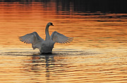 Wing Spread Of Swan Over Four Feet Photos - Spreading Her Wings In Gold by Randall Branham