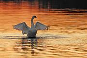 Spreading Her Wings In Gold Print by Randall Branham