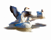 Geese Digital Art Posters - Spreading your Wings Poster by Dewain Maney