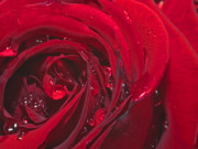 Rose Water Art - Spring 2 by Kenton Smith