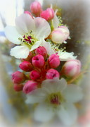 Crab Apple Tree Blossoms Prints - Spring Apple Blossoms 1 Print by Cindy Wright