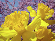 Daffodils Posters - Spring Art Prints Yellow Daffodils Flowers Pink Blossoms Baslee Troutman Poster by Baslee Troutman Fine Art Collections