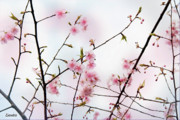 Cherry Blossoms Photos - Spring Awakening by Eena Bo