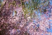 Tree Blossoms Prints - Spring Blossoms Reflecting In Lake Print by Craig Tuttle