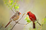 Male Cardinals Framed Prints - Spring Cardinals Framed Print by Bonnie Barry