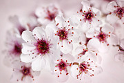 Nature Closeup Metal Prints - Spring cherry blossom Metal Print by Elena Elisseeva