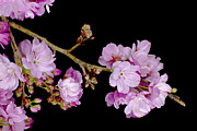 Spring Cherry Blossoms 2 Print by Barnaby Chambers