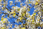 Cherry Blossoms Photo Originals - Spring Cherry Blossoms by Elizabeth Eells
