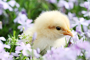 Easter Flowers Posters - Spring Chick Poster by Stephanie Frey