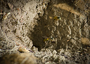 Photographs Photo Prints - SPRING CLEANING Pair of wasps carrying mud from a yellow-jacket wasps nest Print by Andy Smy