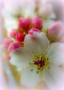 Crab Apple Tree Blossoms Prints - Spring Comes Softly Print by Cindy Wright
