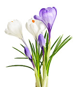 Bud Framed Prints - Spring crocus flowers Framed Print by Elena Elisseeva