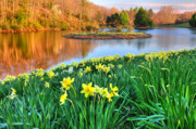 Sunset Light Posters - Spring Daffodils at Laurel Ridge-Connecticut  Poster by Thomas Schoeller