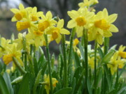 Dew Covered Flower Posters - Spring Daffodils Poster by Geralyn Palmer