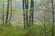 Yankee Prints - Spring Dogwood in Bloom Print by Dean Pennala