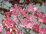 Recent Posters - Spring Dogwood Tree Flowers art prints Pink Flowering Tree Poster by Baslee Troutman Fine Art Prints