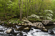 Dogwood Blossom Photos - Spring Dogwoods on the Little River - D003829 by Daniel Dempster