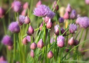 Allium Schoenoprasum Prints - Spring Dreams Print by Carol Groenen