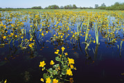 Spring Floods Metal Prints - Spring Flood Plains With Wildflowers Metal Print by Norbert Rosing