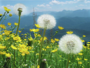 Dandelion Seed Prints - Spring Flower Meadow With Mountain Print by Fresh, amazing pictures make people look!