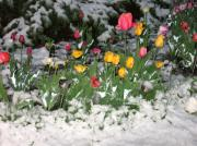 Anna  Duyunova - Spring Flowers in Calgary